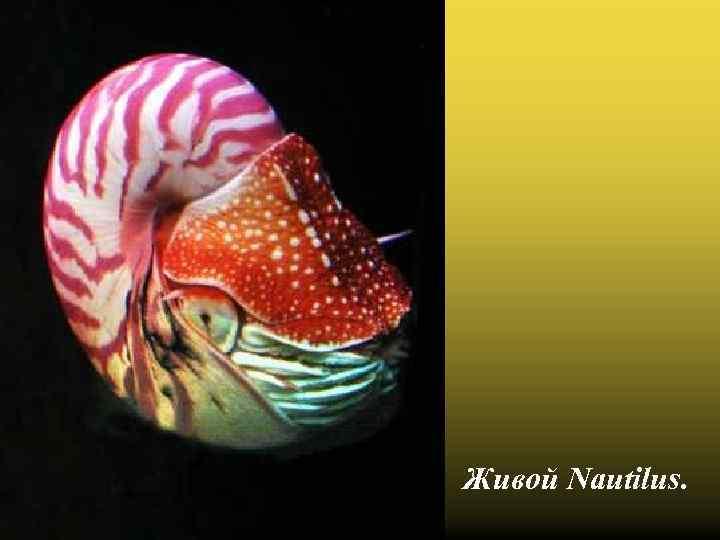 Живой Nautilus.