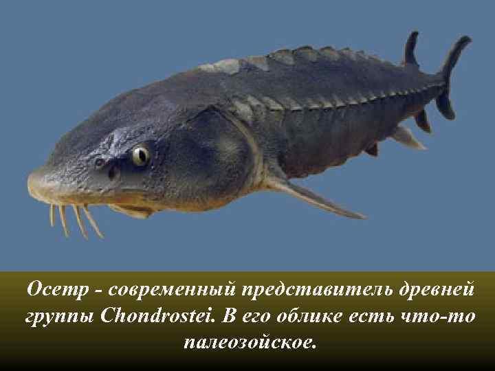 Осетр - современный представитель древней группы Chondrostei. В его облике есть что-то палеозойское.
