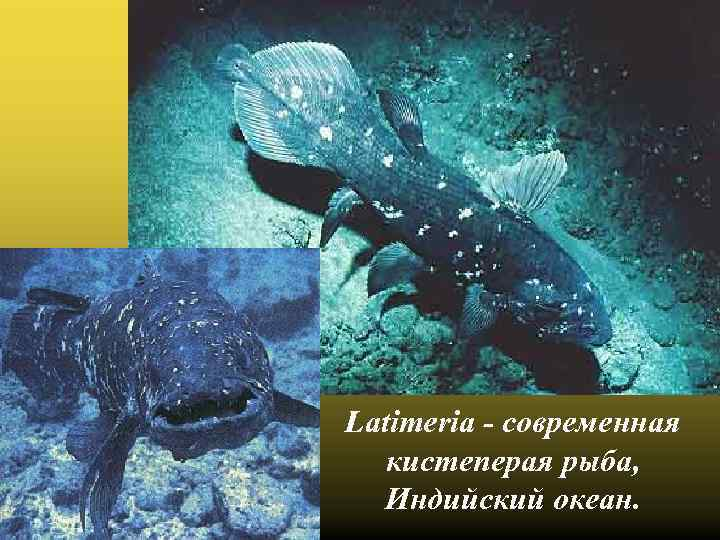 Latimeria - современная кистеперая рыба, Индийский океан.