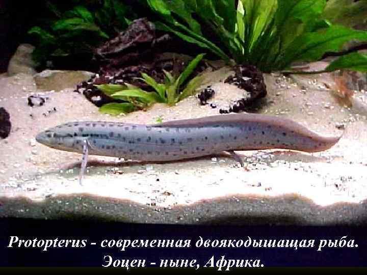 Protopterus - современная двоякодышащая рыба. Эоцен - ныне, Африка.