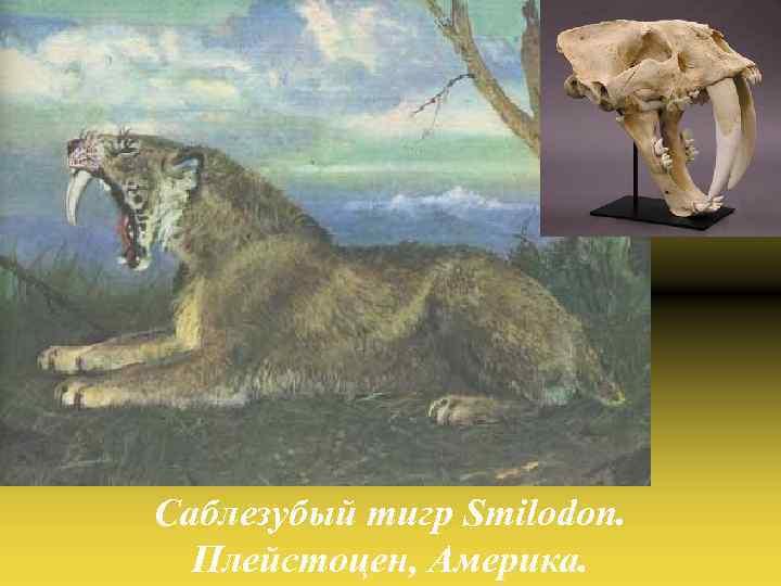 Саблезубый тигр Smilodon. Плейстоцен, Америка.