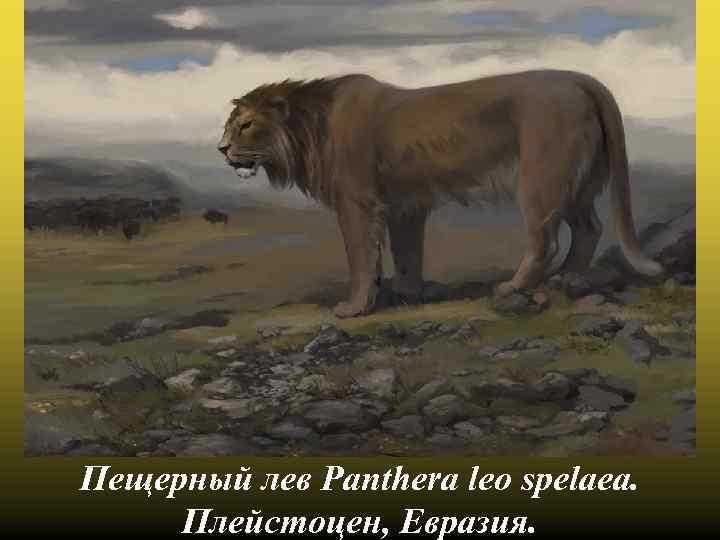 Пещерный лев Panthera leo spelaea. Плейстоцен, Евразия.