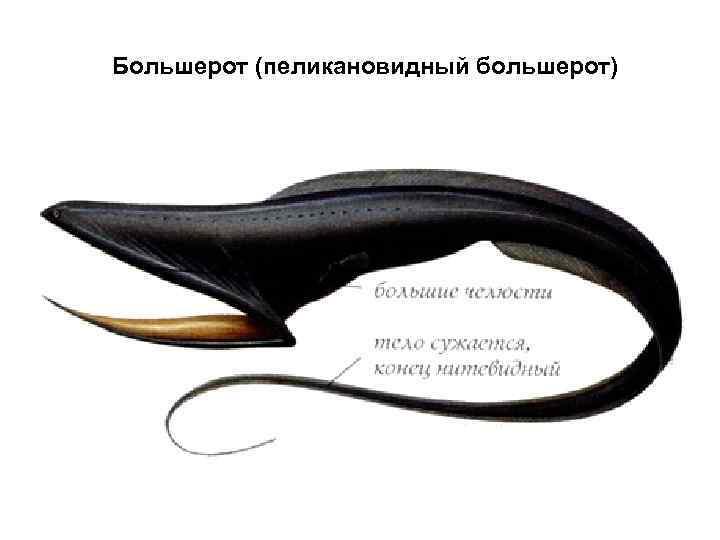 Большерот (пеликановидный большерот)