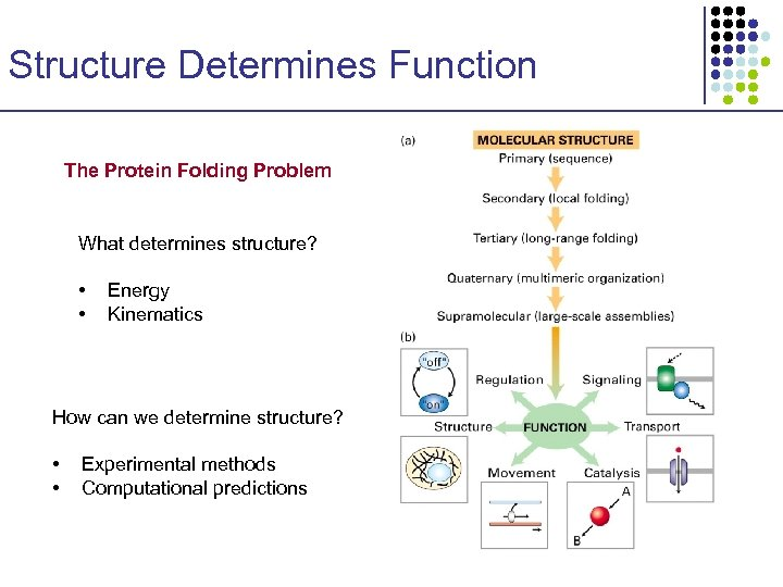 Structure Determines Function The Protein Folding Problem What determines structure? • • Energy Kinematics