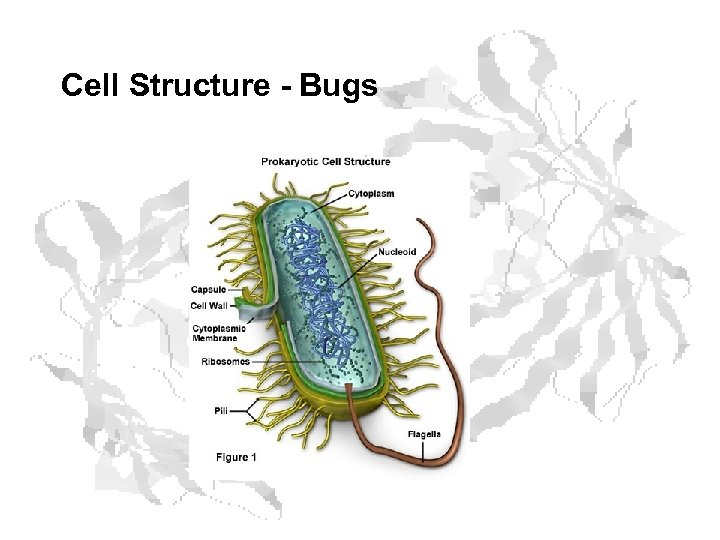 Cell Structure - Bugs