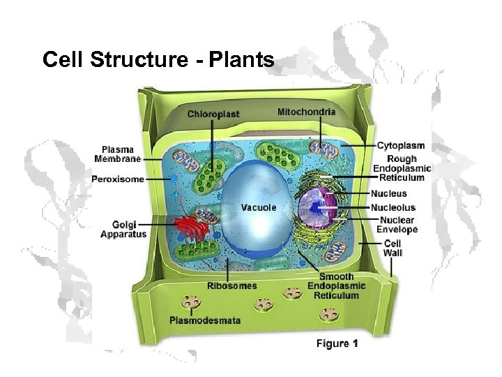 Cell Structure - Plants