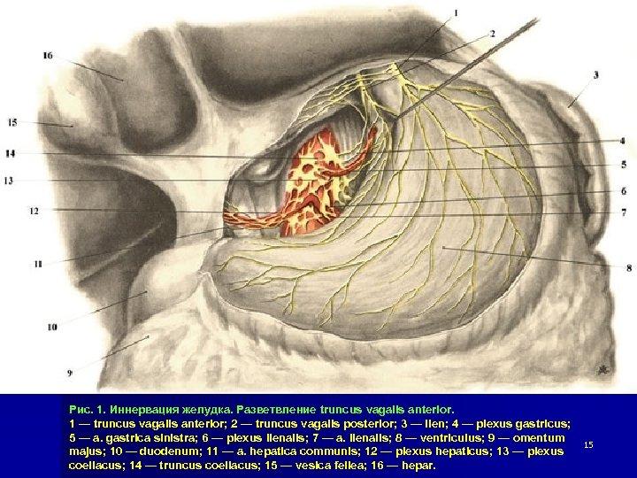 Рис. 1. Иннервация желудка. Разветвление truncus vagalis anterior. 1 — truncus vagalis anterior; 2