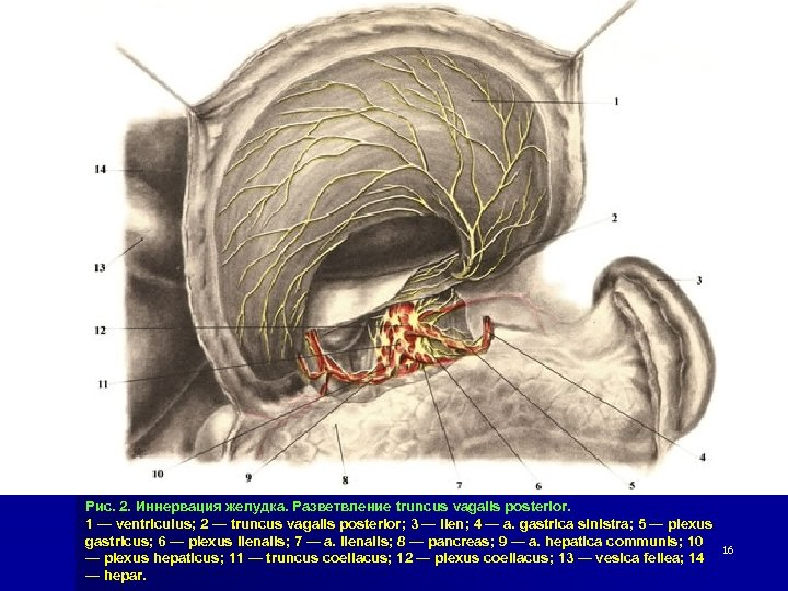 Рис. 2. Иннервация желудка. Разветвление truncus vagalis posterior. 1 — ventriculus; 2 — truncus