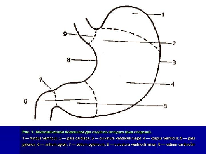 Рис. 1. Анатомическая номенклатура отделов желудка (вид спереди). 1 — fundus ventriculi; 2 —