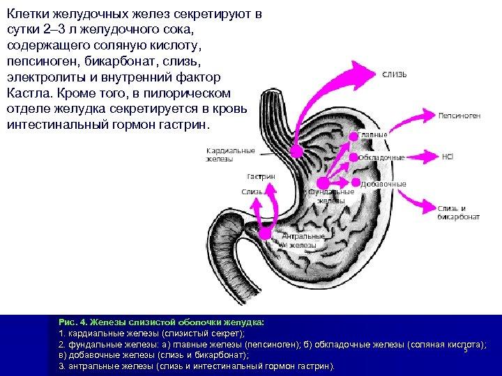 Клетки желудочных желез секретируют в сутки 2– 3 л желудочного сока, содержащего соляную кислоту,