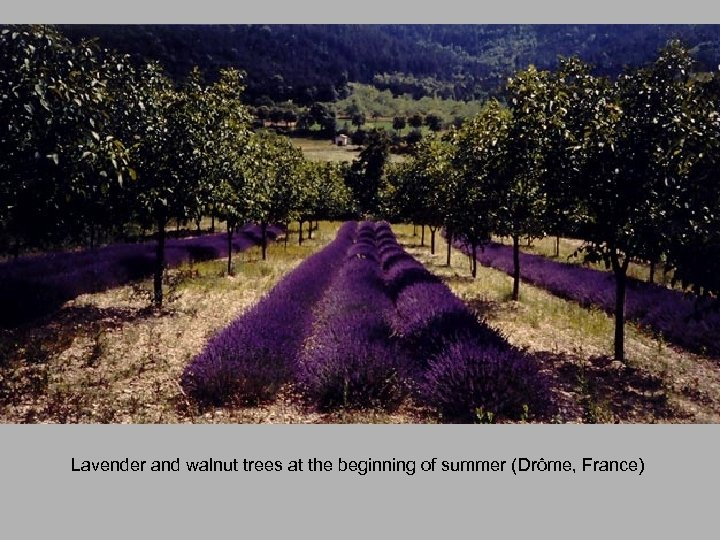 Lavender and walnut trees at the beginning of summer (Drôme, France)