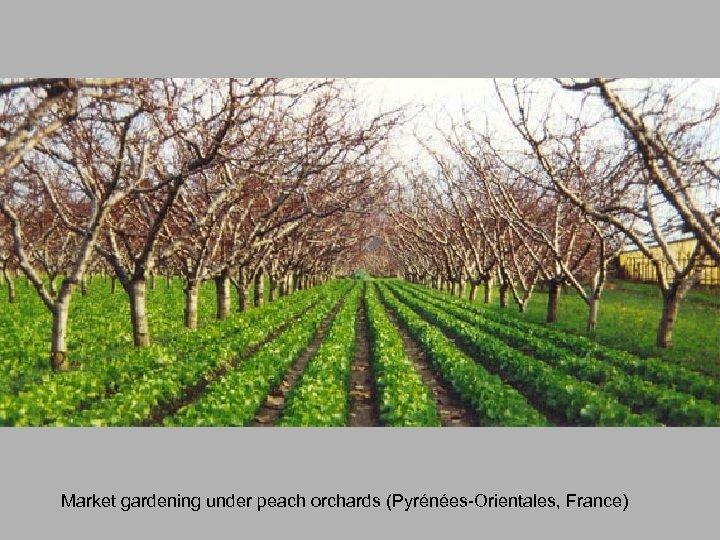 Market gardening under peach orchards (Pyrénées-Orientales, France)
