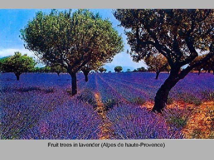 Fruit trees in lavender (Alpes de haute-Provence)