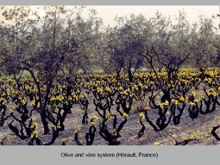 Olive and vine system (Hérault, France)