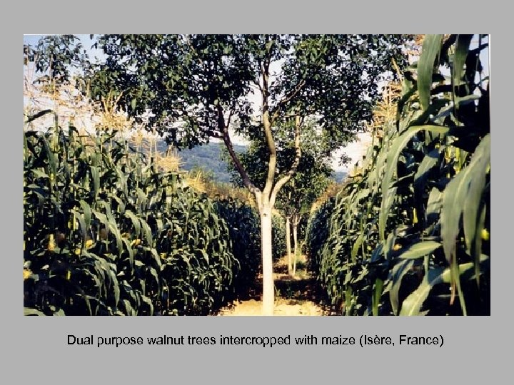 Dual purpose walnut trees intercropped with maize (Isère, France)