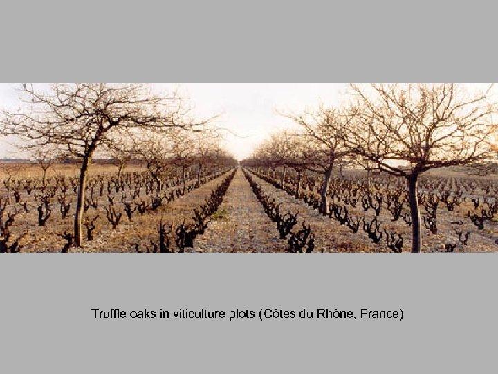 Truffle oaks in viticulture plots (Côtes du Rhône, France)