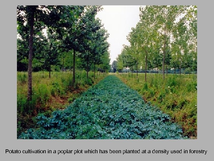 Potato cultivation in a poplar plot which has been planted at a density used