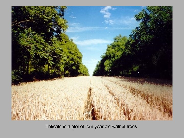 Triticale in a plot of four year old walnut trees
