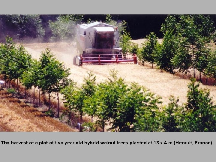 The harvest of a plot of five year old hybrid walnut trees planted at