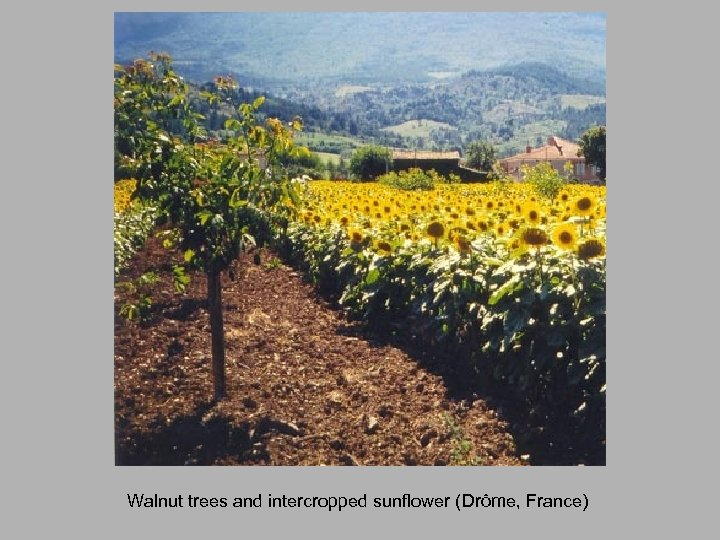 Walnut trees and intercropped sunflower (Drôme, France)