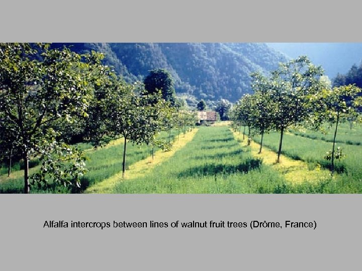 Alfalfa intercrops between lines of walnut fruit trees (Drôme, France)