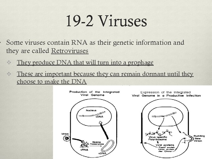19 -2 Viruses v Some viruses contain RNA as their genetic information and they