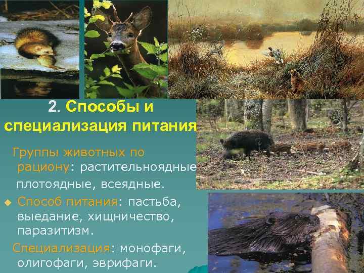 2. Способы и специализация питания Группы животных по рациону: растительноядные плотоядные, всеядные. u Способ