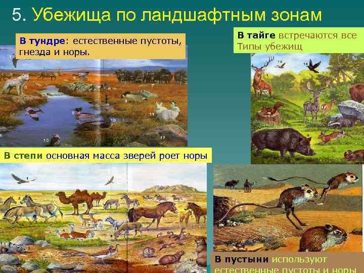 5. Убежища по ландшафтным зонам В тундре: естественные пустоты, гнезда и норы. В тайге