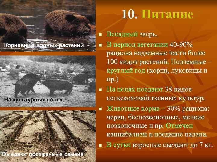 10. Питание n Корневища водных растений n n На культурных полях n n Выедают