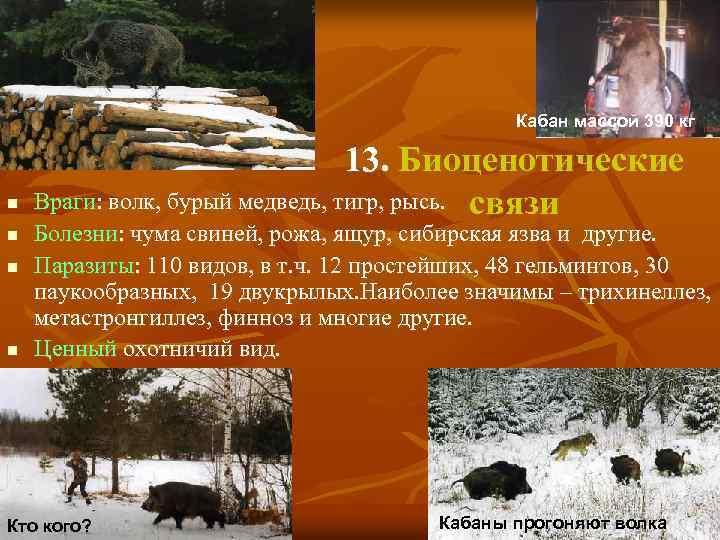 Кабан массой 390 кг n n 13. Биоценотические Враги: волк, бурый медведь, тигр, рысь.