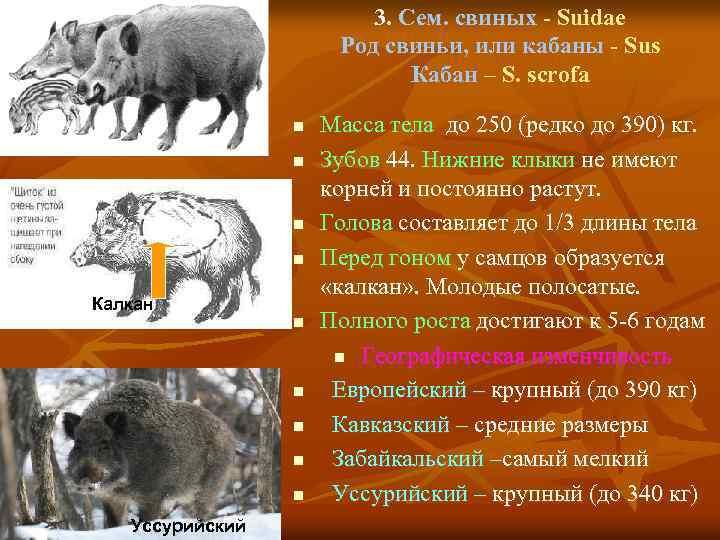 3. Сем. свиных - Suidae Род свиньи, или кабаны - Sus Кабан – S.