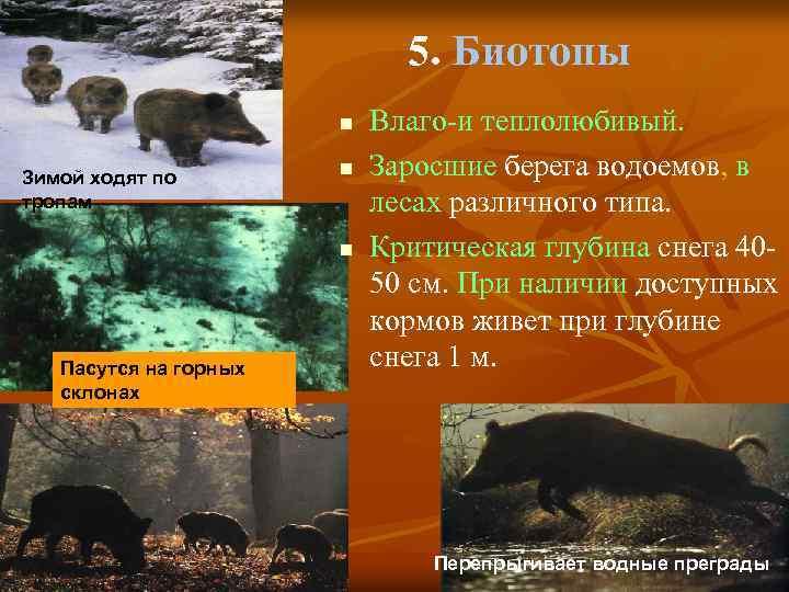 5. Биотопы n Зимой ходят по тропам n n Пасутся на горных склонах Влаго-и