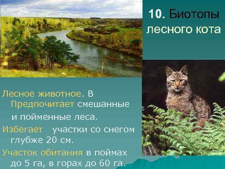 10. Биотопы лесного кота Лесное животное. В Предпочитает смешанные и пойменные леса. Избегает участки