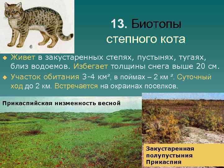 13. Биотопы степного кота u u Живет в закустаренных степях, пустынях, тугаях, близ водоемов.