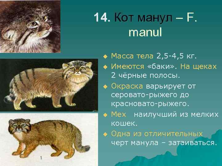 14. Кот манул – F. manul u u u Масса тела 2, 5 -4,