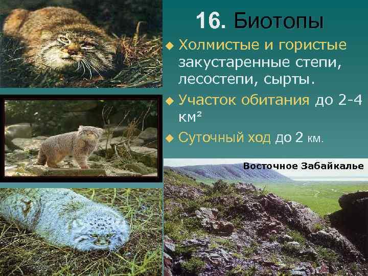 16. Биотопы Холмистые и гористые закустаренные степи, лесостепи, сырты. u Участок обитания до 2