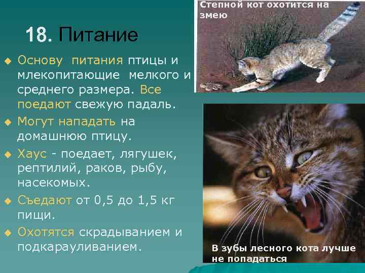 Степной кот охотится на змею 18. Питание u u u Основу питания птицы и