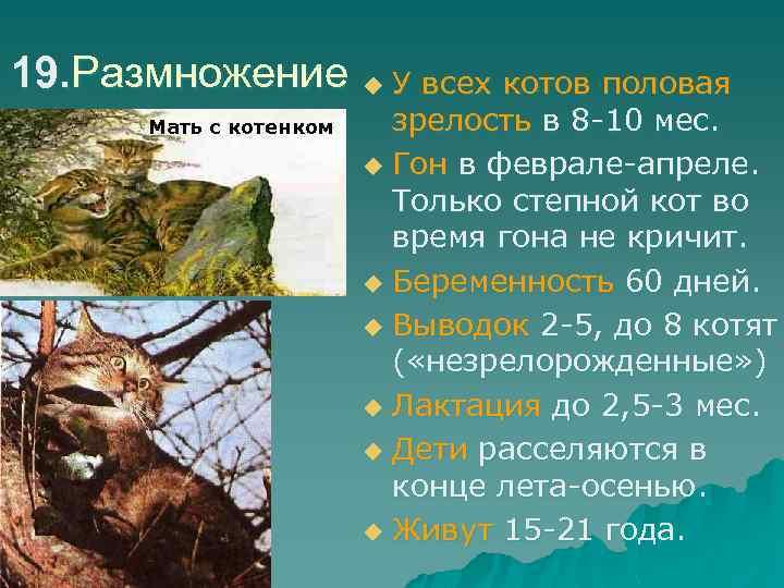 19. Размножение u У всех котов половая Мать с котенком зрелость в 8 -10