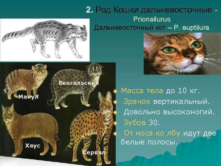 2. Род Кошки дальневосточные Prionailurus Дальневосточный кот – P. euptilura Бенгальский u Манул u