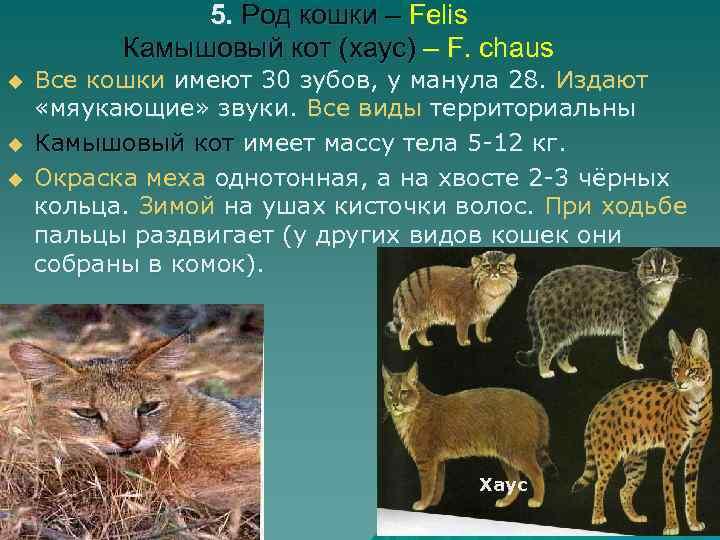 5. Род кошки – Felis Камышовый кот (хаус) – F. chaus u u u