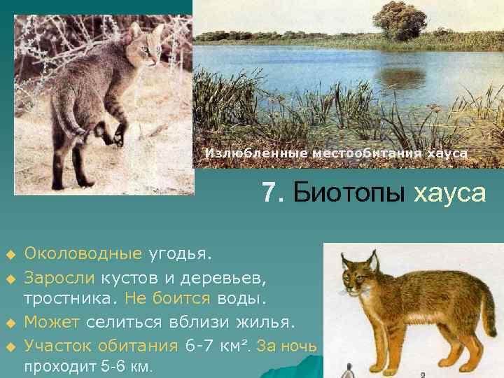 Излюбленные местообитания хауса 7. Биотопы хауса u u Околоводные угодья. Заросли кустов и деревьев,