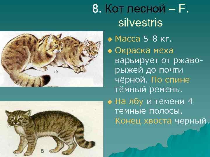 8. Кот лесной – F. silvestris Масса 5 -8 кг. u Окраска меха варьирует
