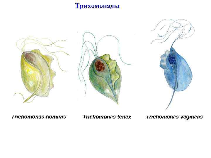 Трихомонады Trichomonas hominis Trichomonas tenax Trichomonas vaginalis