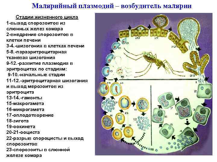 Малярийный плазмодий – возбудитель малярии Стадии жизненного цикла 1 -выход спорозоитов из слюнных желез