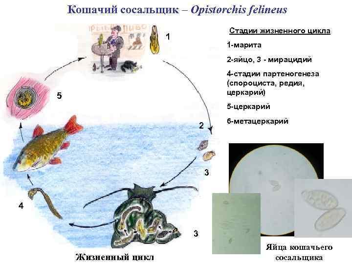 Кошачий сосальщик – Opistorchis felineus Стадии жизненного цикла 1 1 -марита 2 -яйцо, 3