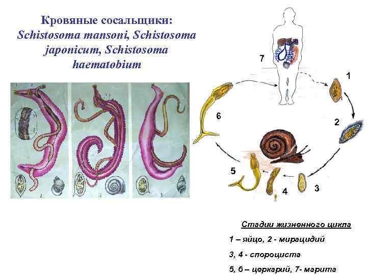 Кровяные сосальщики: Schistosoma mansoni, Schistosoma japonicum, Schistosoma haematobium 7 1 6 2 5 4