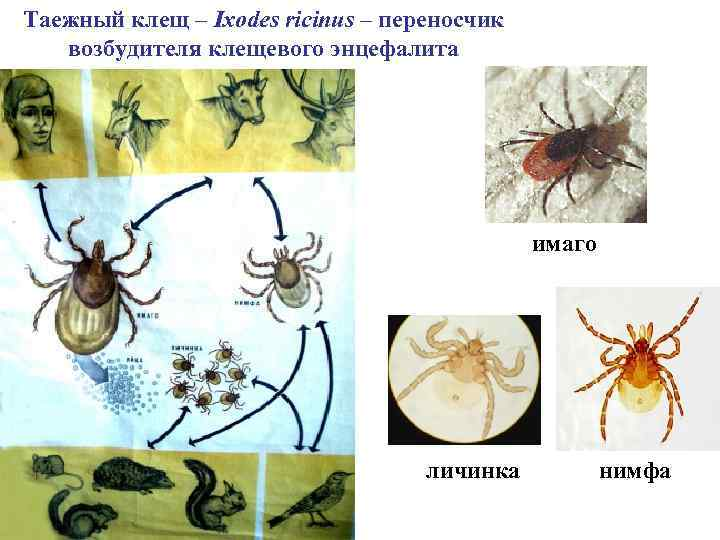 Таежный клещ – Ixodes ricinus – переносчик возбудителя клещевого энцефалита имаго личинка нимфа