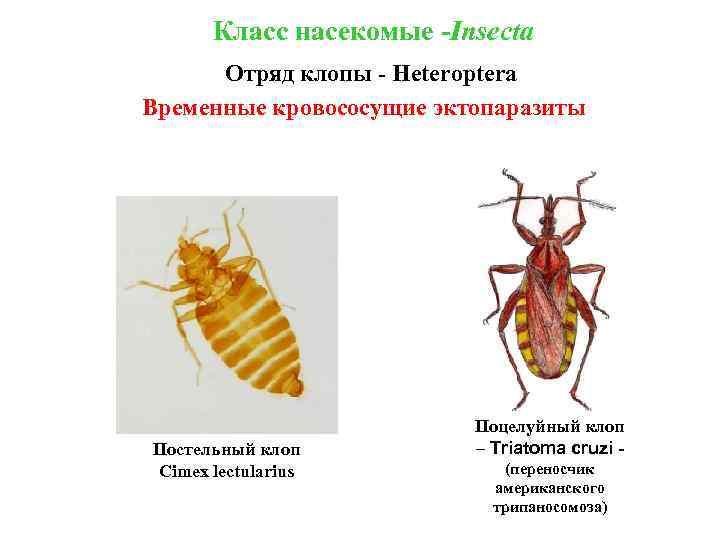 Класс насекомые -Insecta Отряд клопы - Heteroptera Временные кровососущие эктопаразиты Постельный клоп Cimex lectularius