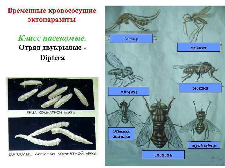 Временные кровососущие эктопаразиты Класс насекомые. комар Отряд двукрылые Diptera москит мошка мокрец Осенняя жигалка