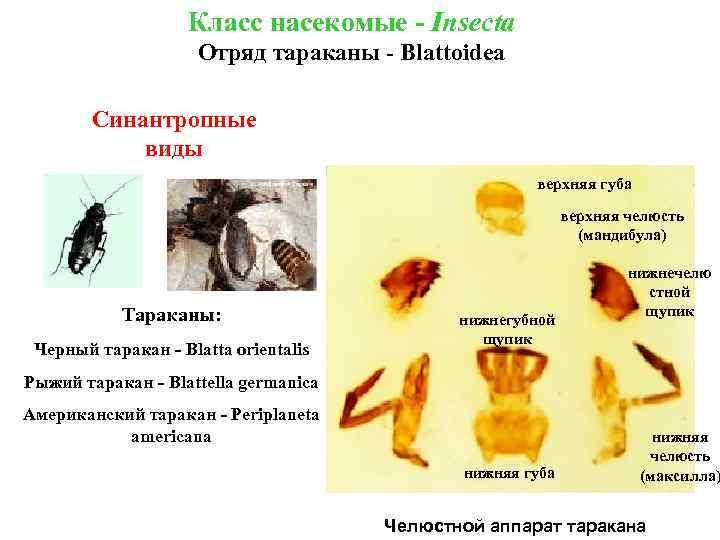 Класс насекомые - Insecta Отряд тараканы - Blattoidea Синантропные виды верхняя губа верхняя челюсть